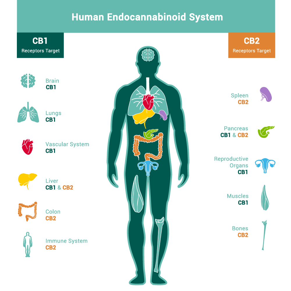 WHAT IS ENDOCANNIBINOID SYSTEM